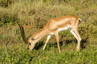 Young female antelope in the savannah