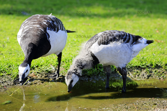Barnacle Geese Drinking from Puddle