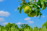 Pear branch with pears in front of blue sky in summer