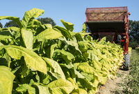 Harvesting tobacco leaves with harvester tractor