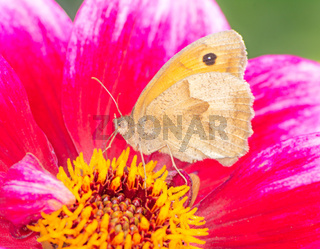 Meadow brown butterfly on a dahlia blossom