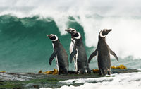 Magellanic penguins standing by the stormy ocean