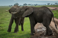 Two African elephants fighting on dirt road