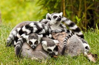 Kattagruppe (Lemur catta)