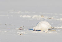 Svalbard Rock ptarmigan, Lagopus muta hyperborea, bird with winter plumage, searching for food in the snow at Svalbard