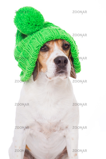 Adult beagle dog with wool cap isolated on white background
