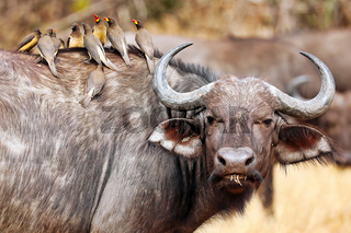 Kaffernbueffel mit Rotschnabel-Madenhacker, South Luangwa Nationalpark, Sambia, (Syncerus caffer) | african buffalo with red-billed oxpeckers, South Luangwa National Park, Zambia, (Syncerus caffer)