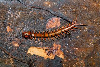 centipede, Madagascar wildlife