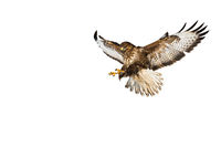 Wild common buzzard in flight catching with claws isolated on white background
