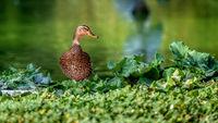 Mallard duck - close-up of a mallard duck near the green water.  Portrait of a charming Mallard duck.