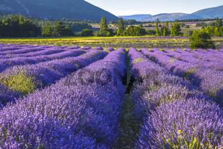 Blühendes Lavendelfeld im Abendlicht bei Sault