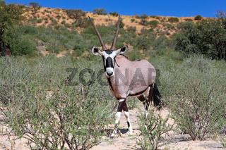 Oryxantilope, Kgalagadi-Transfrontier-Nationalpark, Südafrika, (Oryx) | Oryx, Kgalagadi Transfrontier National Park, South Africa, (Oryx)