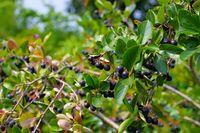 Apfelbeere - bunch of black chokeberry