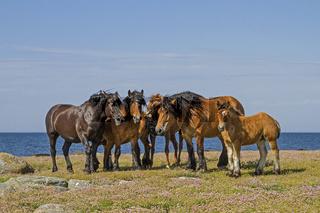Pferdeherde im Naturreservat  Morups Tange