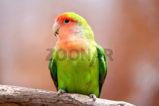 Nyasa lovebird or lilians lovebird, exotic parrot bird, perched on a tree branch.