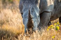 Close up of a White rhino head.