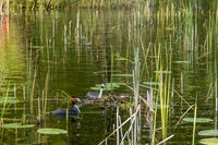Haubentaucher am Nest, Great Crested Grebe at the nest