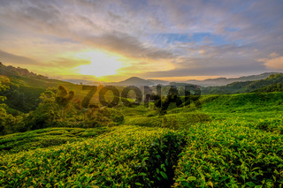 Sunrise in the teaplantation