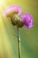 Sow-Thistle pink flower in the sun