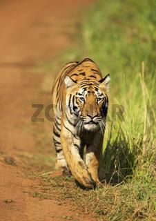 Stalking tigress, Telia sisters, Tadoba, Maharashtra, India.