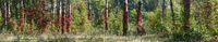 Von rotem wilden Wein bewachsene Birken im Auwald