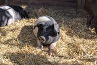 Junges Schwein auf Stroh