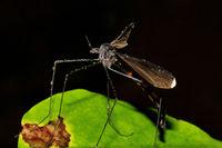 Crane fly, Tipulidae family, Agumbe, Karnataka, India