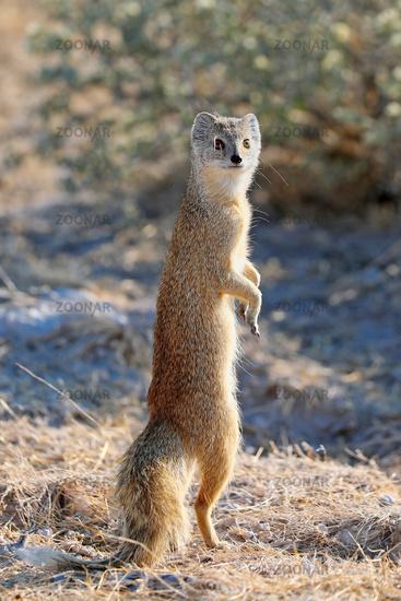 Fuchsmanguste, Etosha-Nationalpark, Namibia, (Cynictis penicillata)   yellow mongoose, Etosha National Park, Namibia, (Cynictis penicillata)