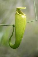 Die aus Madagaskar stammende karnivore Kannenpflanze (Nepenthes madagascariensis) in situ