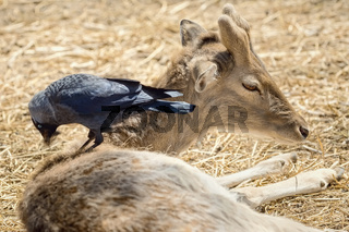 Crow Collects Wool