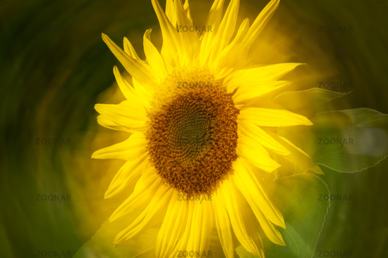 Head of Sunflower turned centrally