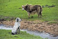 Wachhund und Yak beobachten sich auf einer Weide, Gorchi-Tereldsch-Nationalpark, Mongolei