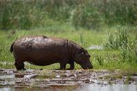 Hippopotamus crosses muddy marsh with bird above