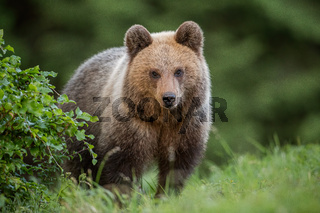 Fluffy young brown bear, ursus arctos, in summer.