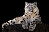 Sunbathing Snow Leopard III