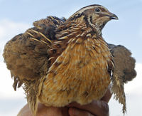 man holds a quail in his hand against the blue sk