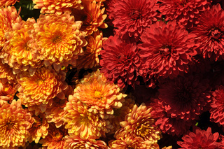 Happy Thanksgiving Greeting, Fall Yellow and Red Chrysanthemums Background