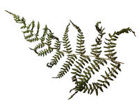 a flat dried fern fern frond with intricate leaf shapes on a white background