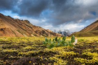 Isländische Pflanze