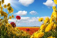 The buttercups- ranunculus