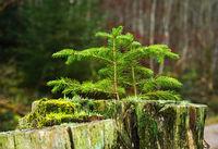Fichtenschösslinge wachsen aus einem Baumstumpf heraus