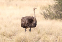 Ostrich walking in the Kalahari