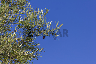Black olive on the branch with space for text