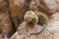 rock hyrax in stony ambiance