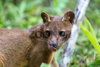 carnivorous mammal Fossa, madagascar wildlife