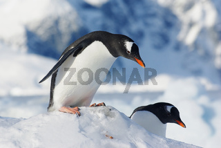penguin gentoo who stands on the edge of an ice floe and prepares to jump off it