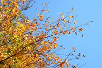 Zweige mit Herbstlaub gelb, orange am Baum vor blauem Himmel