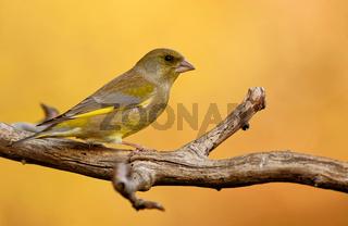 Gruenfink im Herbst