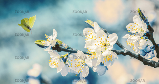 Beautiful blossoming cherry tree, flying butterfly on retro blue background in sunlight, shallow depth. Vintage toned. Greeting card template. Nature springtime sakura flower panorama. Copy space banner
