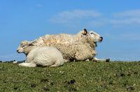 Mutterschaf mit Lamm, Marschland an der Nordseeküste, Schleswig-Holstein, Deutschland